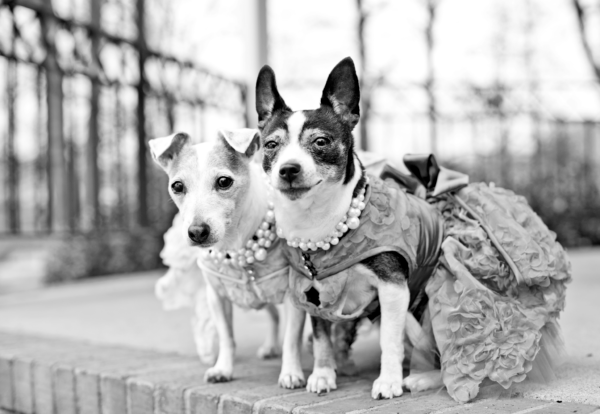 Jack Russell Terrier and Rat Terrier