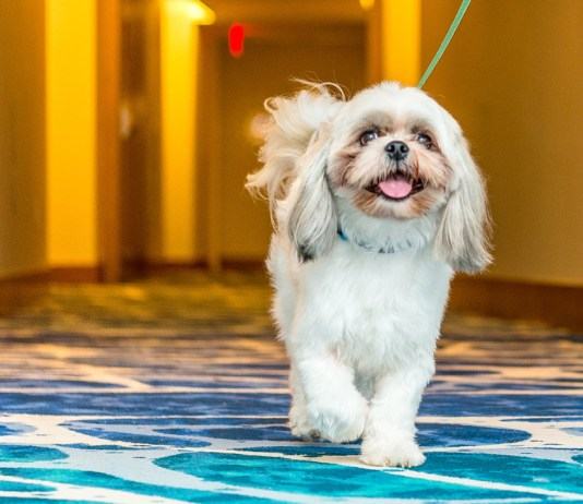 A pampered pup explores a hallway in Grand Hyatt Baha Mar in the Bahamas.