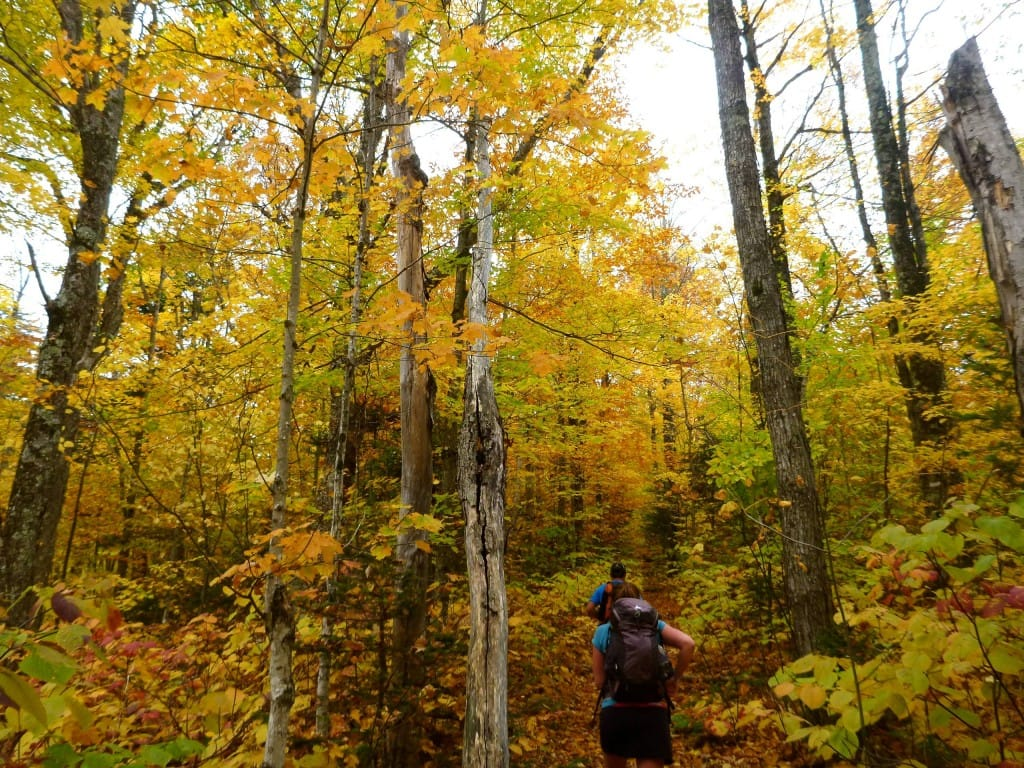 Hikers walk along a trail under a canopy of yellow leaves.