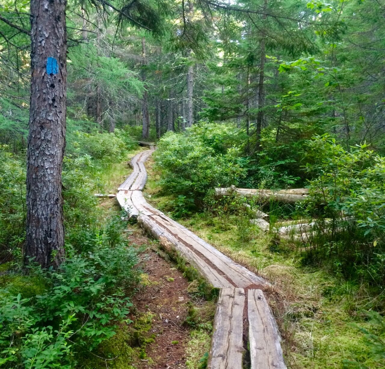 A wooden boardwalk winds through a dense green forest.