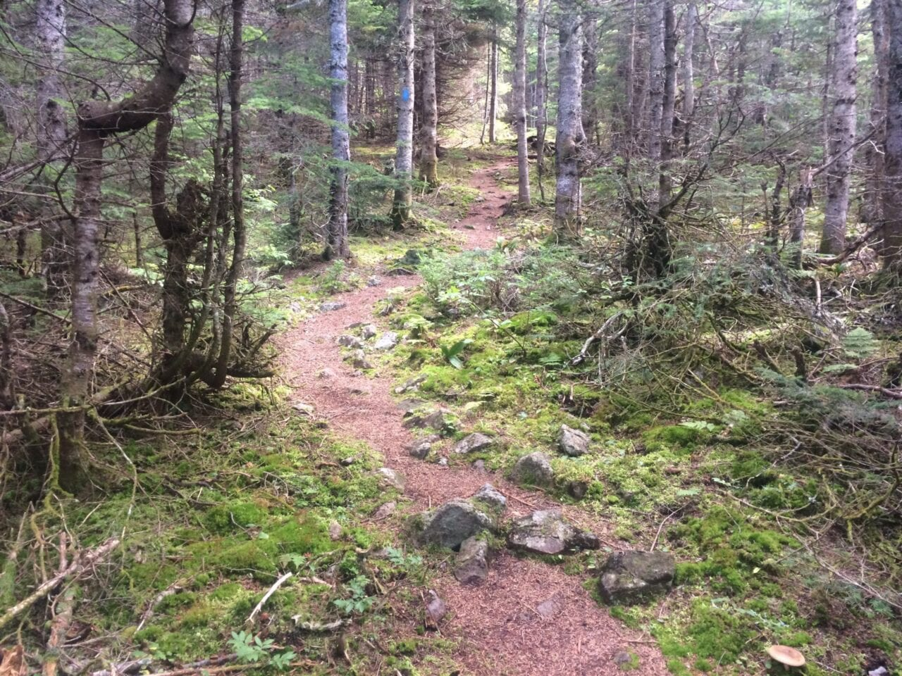 A dirt trail winds through a dense mossy forest.
