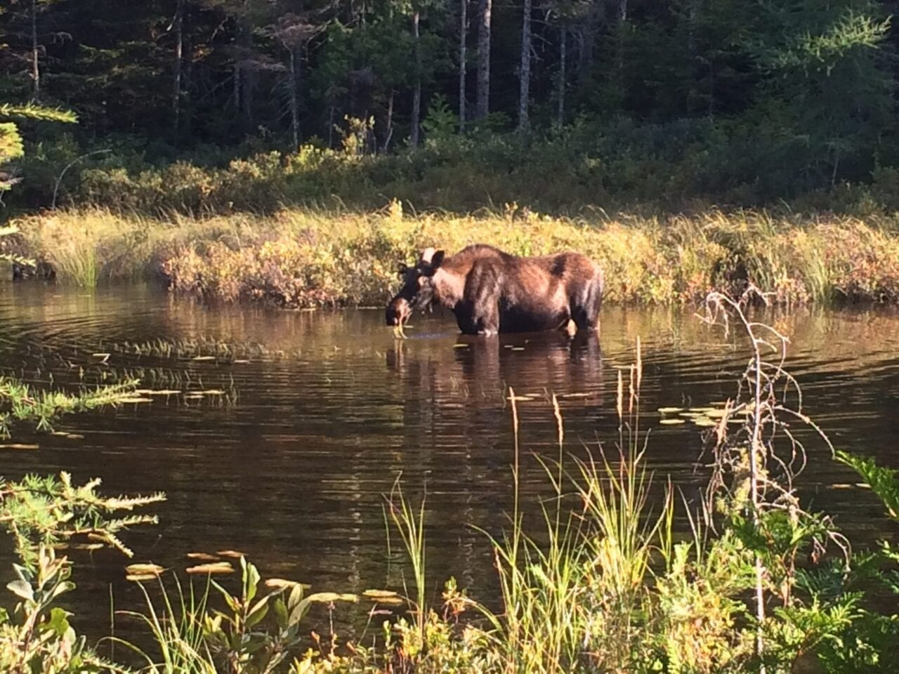A moose wades through a pond.