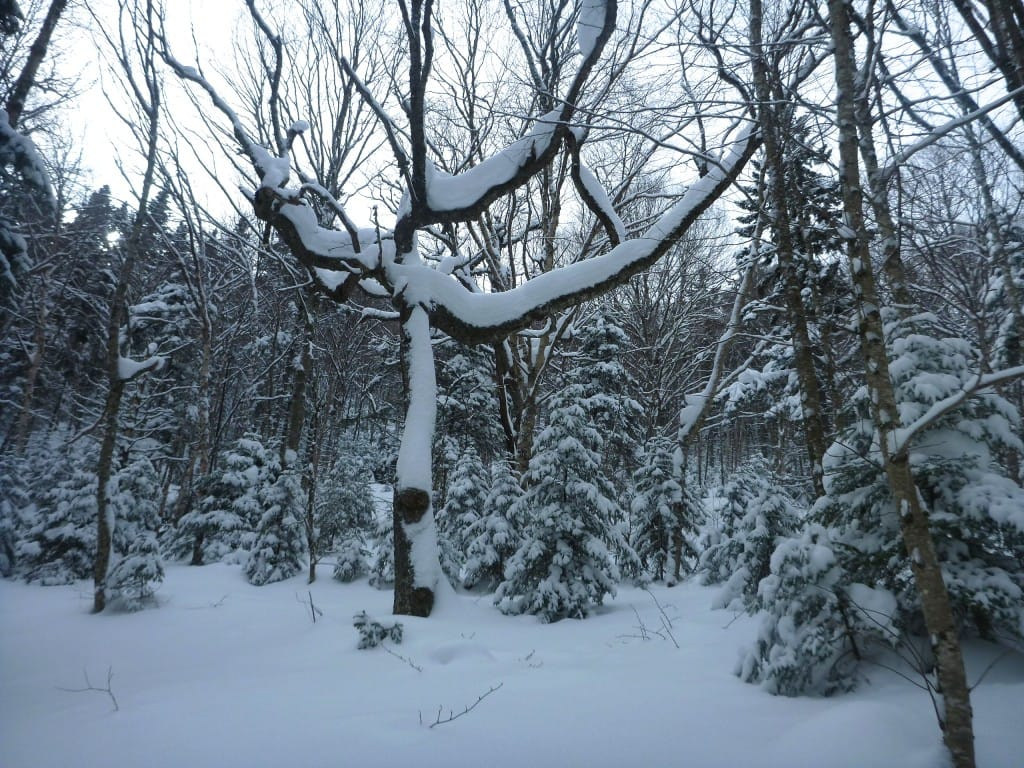 A large, dark tree is covered in snow.