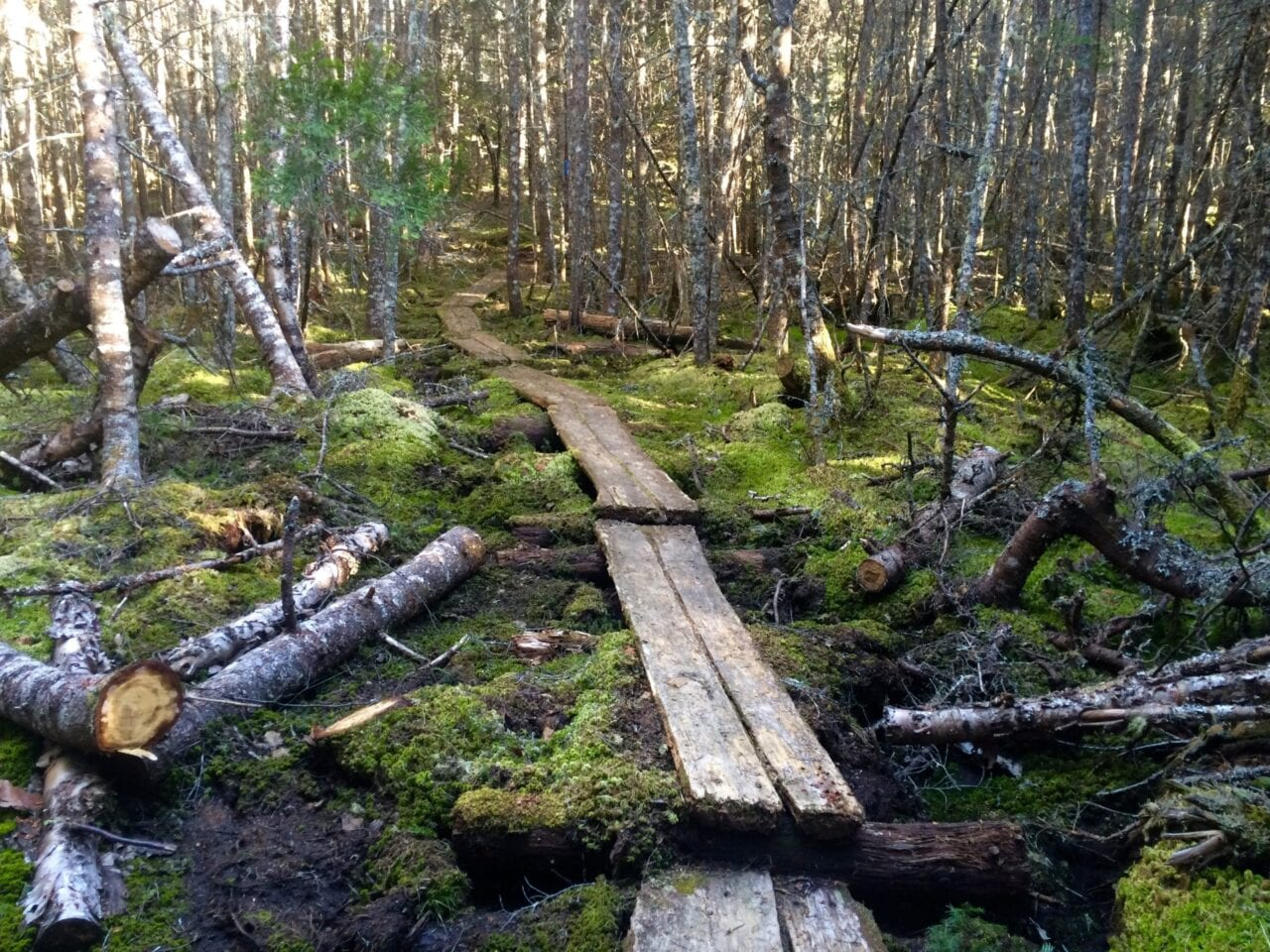 A wooden walkway cuts through a mossy swamp and forest.