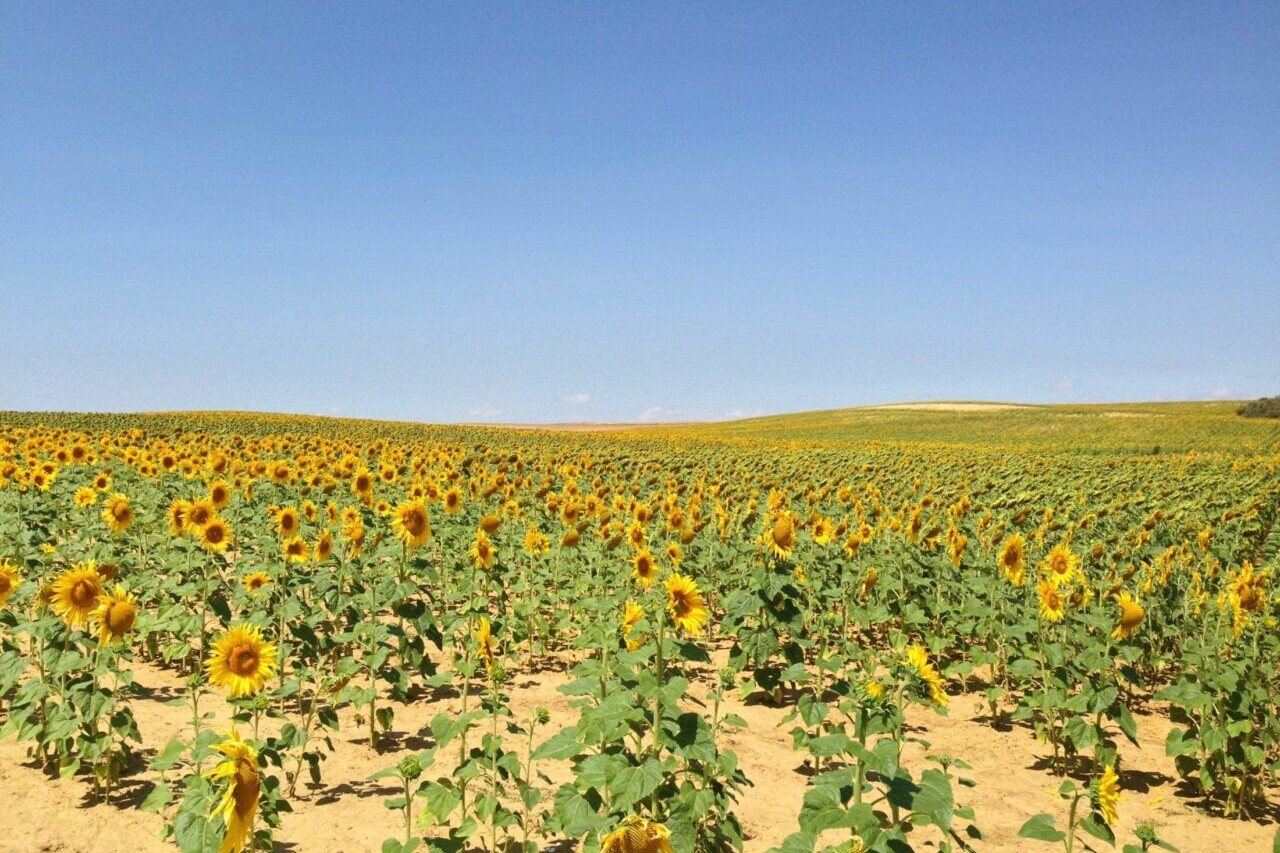 A field of sunflowers sits under a blue sky.
