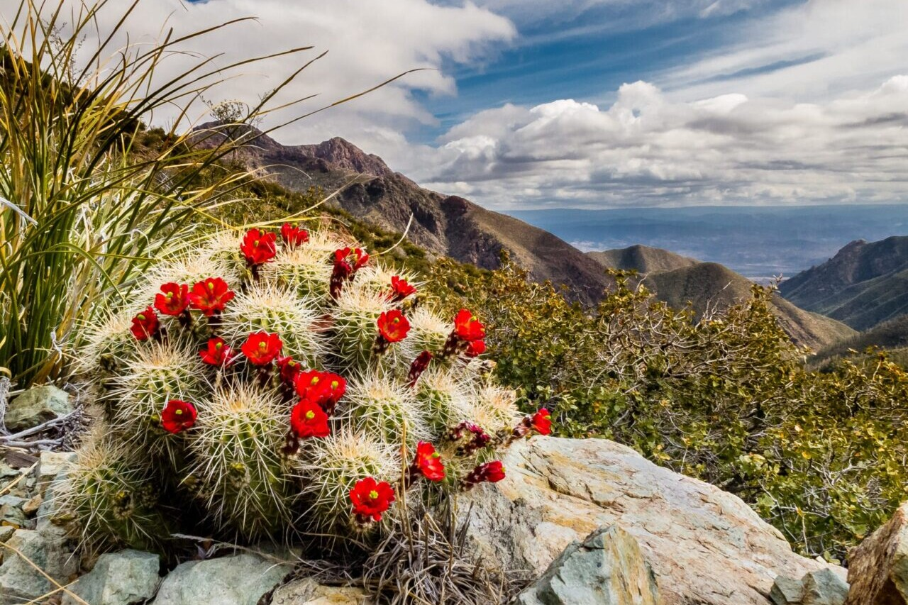 A cactus with red flowers is in the foreground of distant rocky mountains.