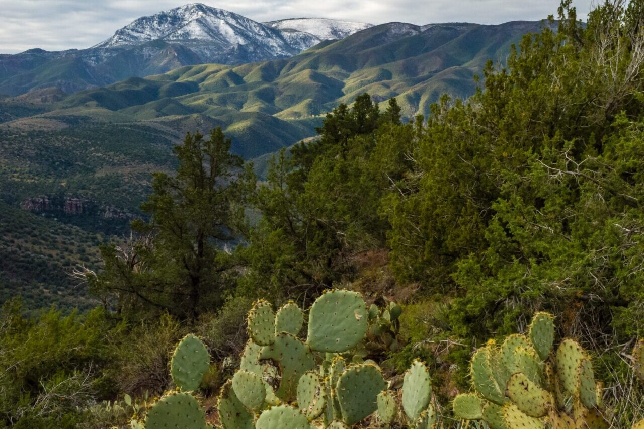 A prickly pear cactus is in the foreground of a forest and distant snowy mountains.