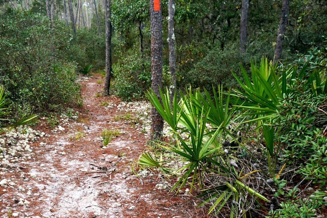 A sandy trail travels into a green forest.