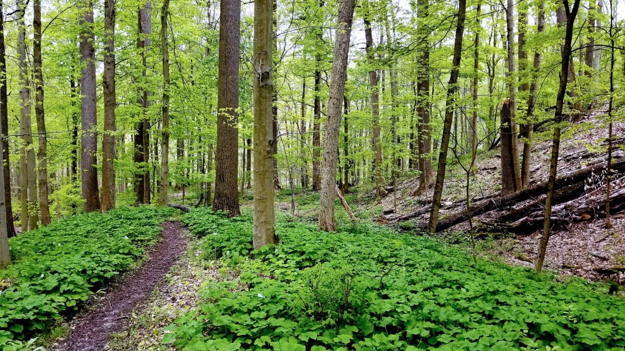 The Buckeye Trail winds through a green deciduous forest in Ohio.