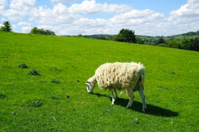 A sheep on a big grassy field.