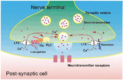 latrotoxin action