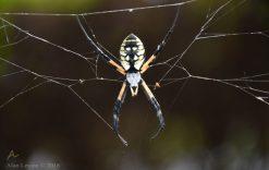 Garden spider late summer
