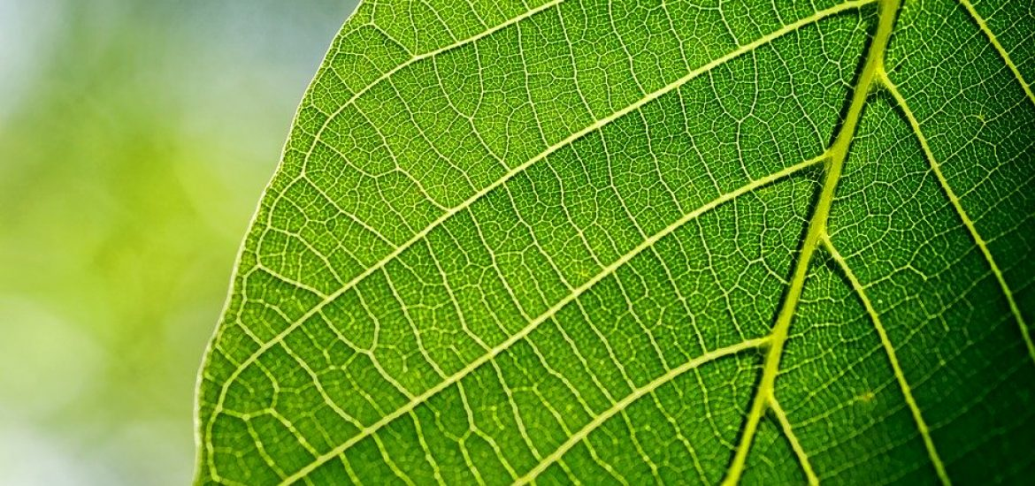 Five UI Professors Recommend This Leaf As A Herbal Cure For Covid-19