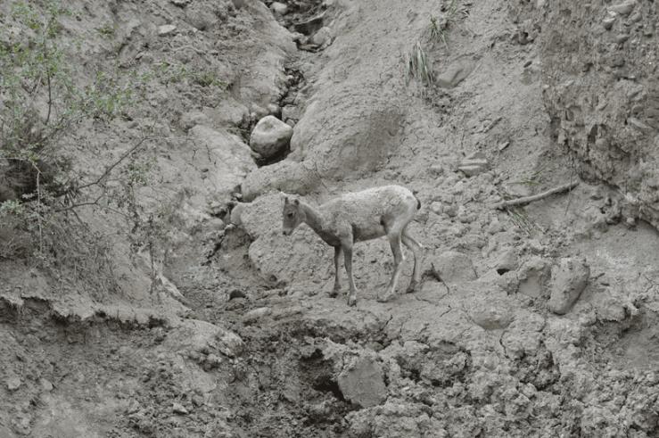 grannie geek lamb contemplating a jump, yellowstone