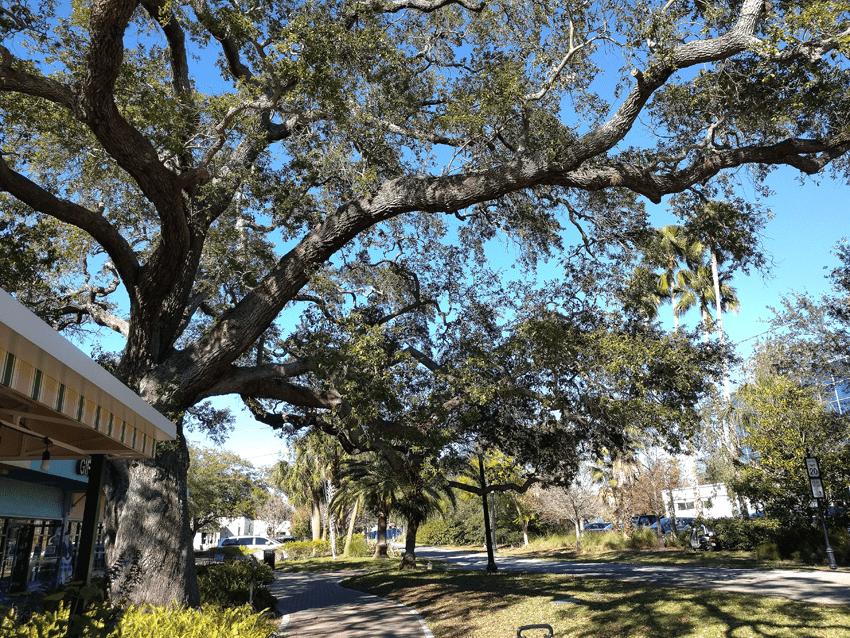 at mimi's table oak tree 2