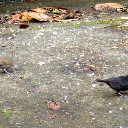 sparrows on the ground