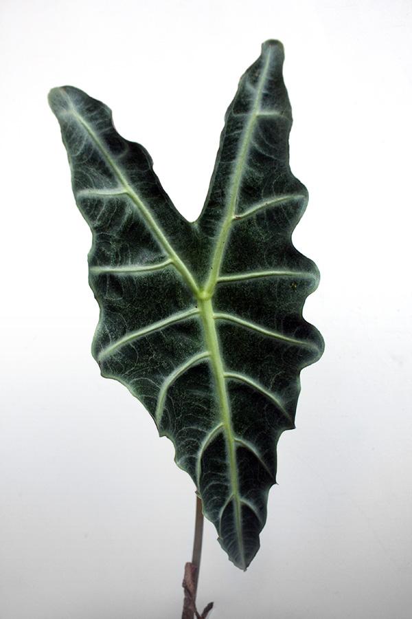 Alocasia × amazonica atau 'Polly'? – atmos plant