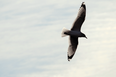 Great Black-backed Gull in Flight | February 4, 2012. 9:47 am
