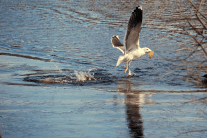 Great Black-backed Gull Snatching Fish from Diving Duck | February 8, 2012, 11:37 am