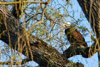 Bald Eagle Perched in Willow | April 2, 2012, 6:10 pm