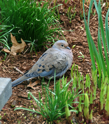 Resting Dove | April 9, 2012, 5:15 pm