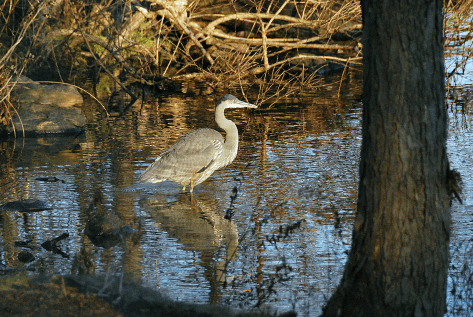 Great Blue Heron in Cove | December 23, 2012, 2:56:51 pm