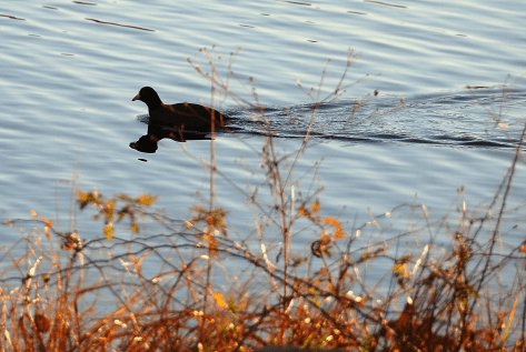 1. American Coot | December 24, 2102, 8:05:08 am