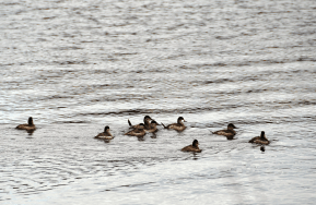 Ruddy Duck Flock (Note the Spikey Tails) | March 14, 2013