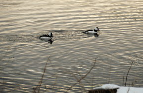 Bufflehead Drakes by Early Light | March 21, 2013