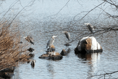 Four Great Blue Herons | January 12, 2007