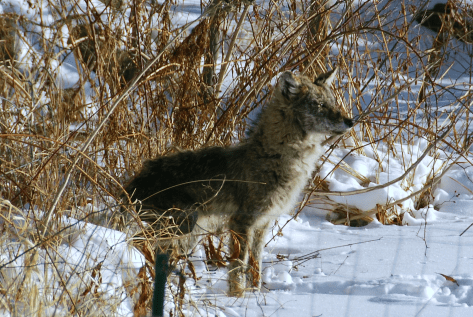 2. Coywolf | January 5, 2014, 8:39:10 am