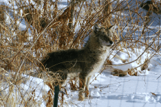 3. Coywolf | January 5, 2014, 8:39:35 am