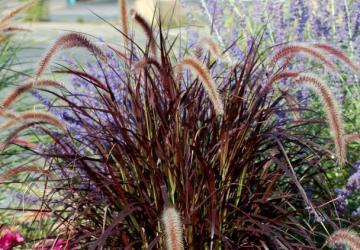 Мискантус китайський Purple Fall