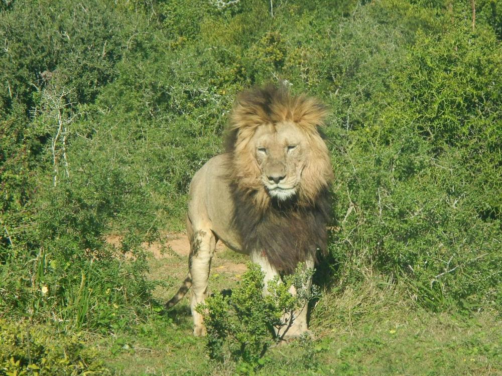 León en Addo Elephant Park