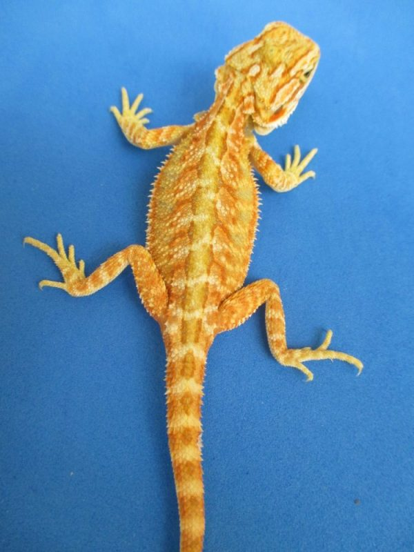 Hypo Melanistic Bearded Dragons Atomic Lizard Ranch - Year of Clean