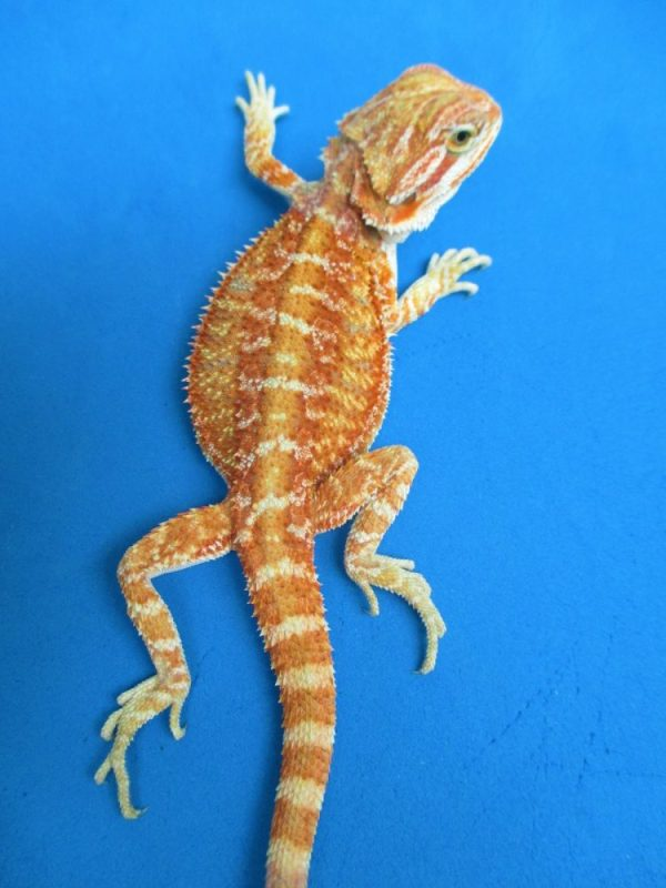 Gala Red Bearded Dragons Online Atomic Lizard Ranch - Year
