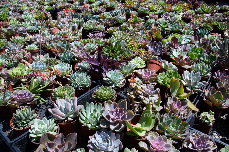 An array of succulents in hues of purple and green.