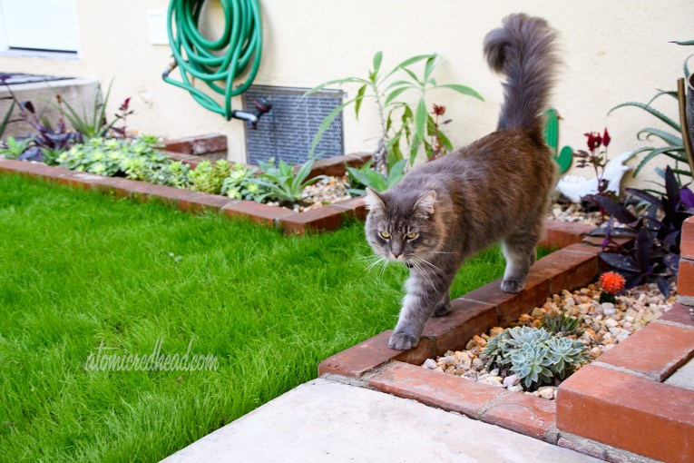 Colonel Whiskers walks along the edge of the brick planters which feature various cacti and succulents.