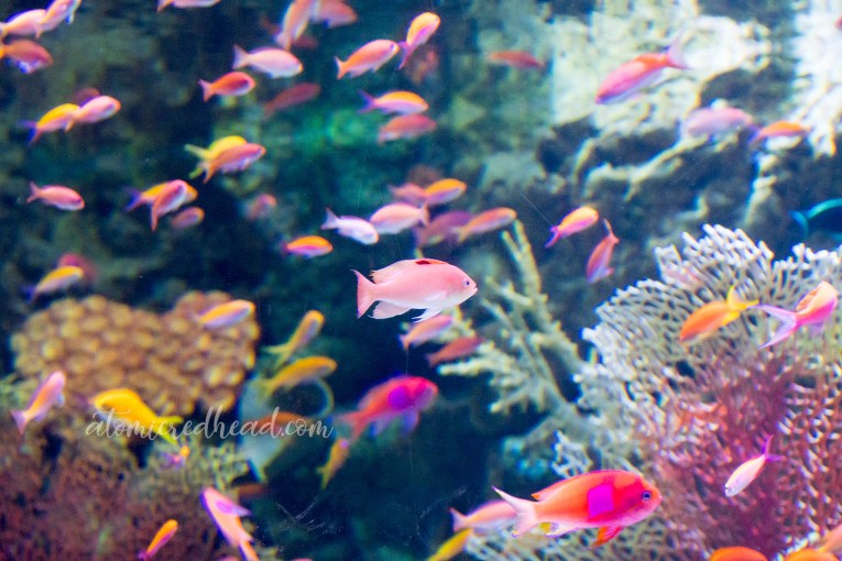 Brightly colored pink and orange fish swim through a color coral environment.