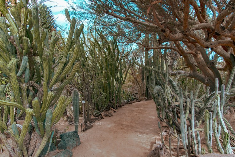 Tall cacti and trees create almost a green tunnel over a dirt path.