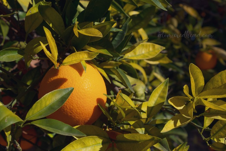 Close-up of an orange growing on a tree.