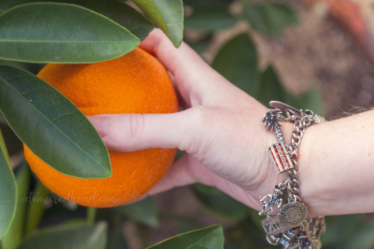 Plucking a perfect orange off the tree, with my vintage California charm bracelet on my wrist, which includes a charm that is a crate of oranges.