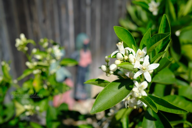 Close-up of white orange blossom flowers on our orange tree.