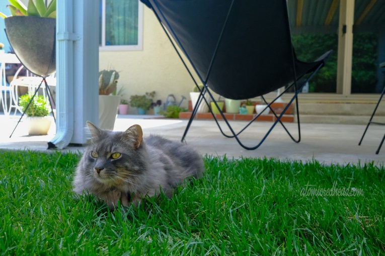 Our fluffy grey cat, Colonel Whiskers sits in the grass.