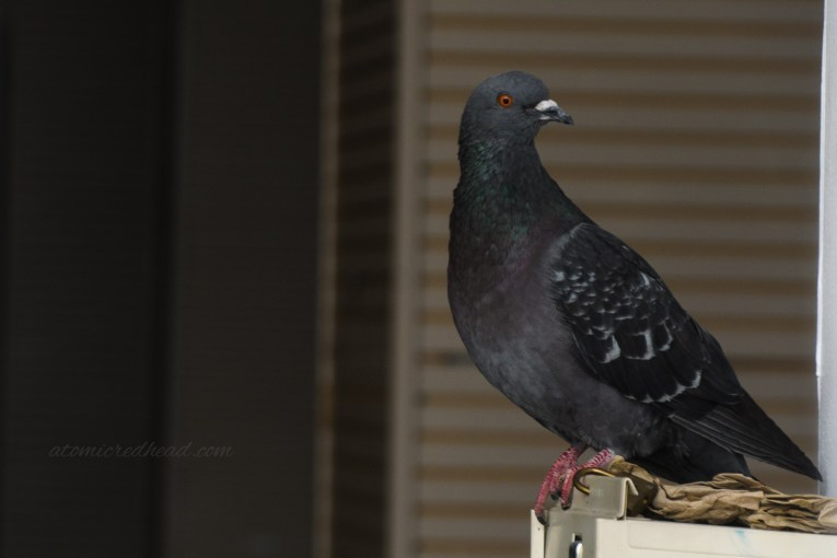 A grey pigeon sits atop a fire extinguisher inside.