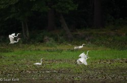 egrets-2