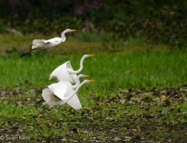 egrets-3