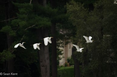 egrets-4