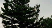 egrets-5