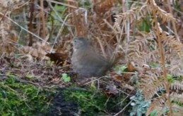 Fox Sparrow stratching